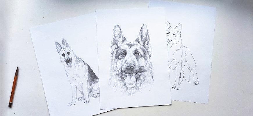Как нарисовать немецкую овчарку карандашом - фото
